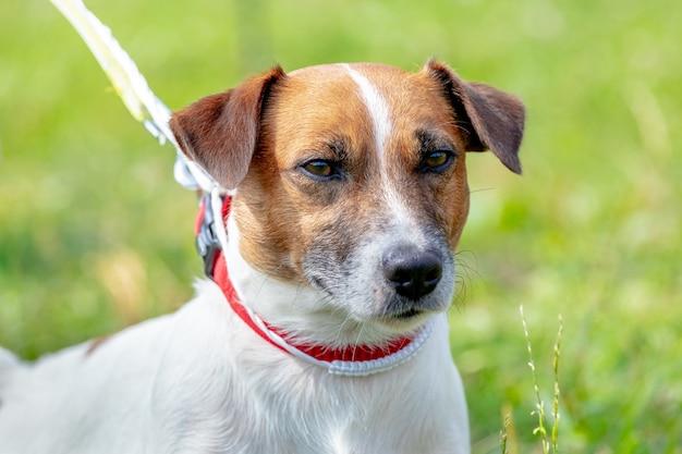 Hondenras parson-russell terrier close-up aan de leiband