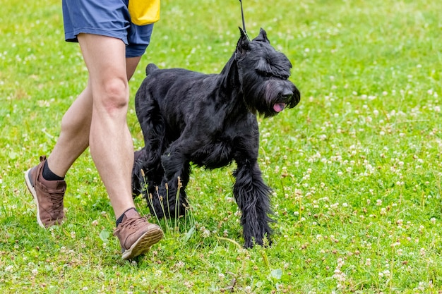 Hondenras reuzenschnauzer met zijn baasje in het park tijdens een wandeling, honden uitlaten