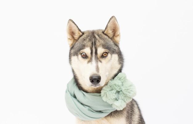 Hondenras siberische husky in een sjaal geïsoleerd op een witte achtergrond