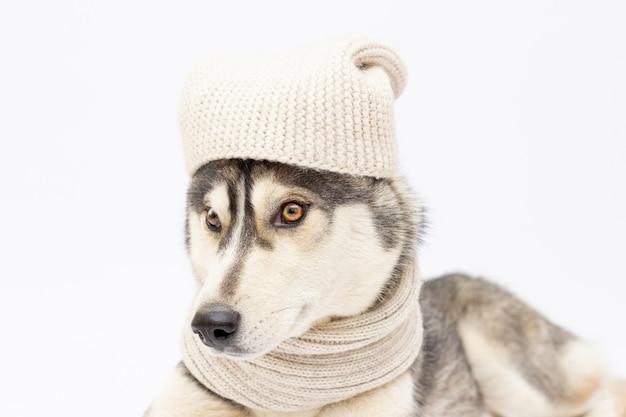 Hondenras siberische husky in een witte muts en sjaal geïsoleerd op een witte achtergrond