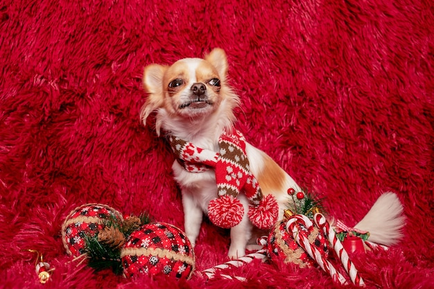 Hondenras wit langharig chihuahua tegen de achtergrond van een pluizige plaid en nieuwjaarsspeelgoed.