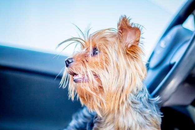 Hondenrassen yorkshire terrier in het auto-interieur wachten op hun meesters