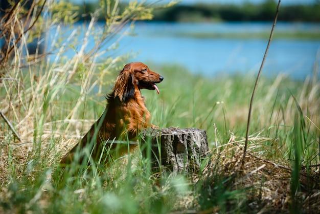 Hondenrastekkel in het bos in een zonnige opheldering.