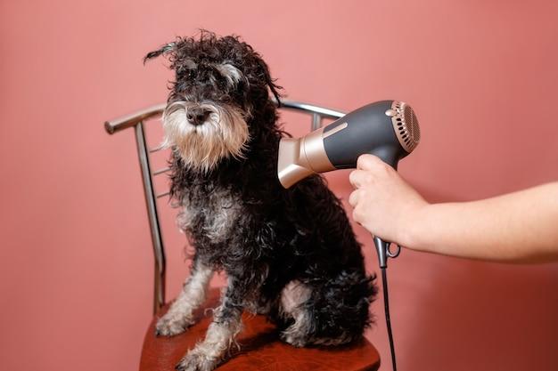 Hondenschnauzer op roze achtergrond en föhn in vrouwelijke hand