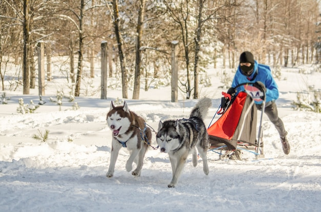 Hondenslee race. man musher en husky sledehondenteam
