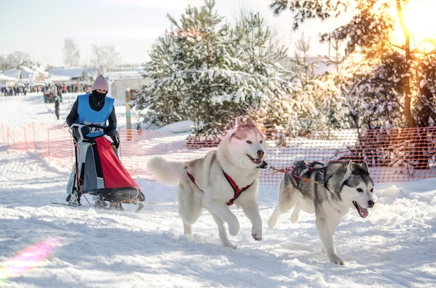 Hondenslee race. vrouw musher en husky sled dog team