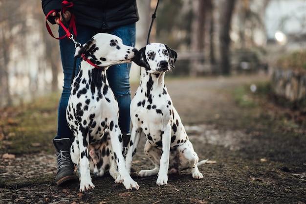 Hondenuitlater met dalmatische honden genieten in het park.