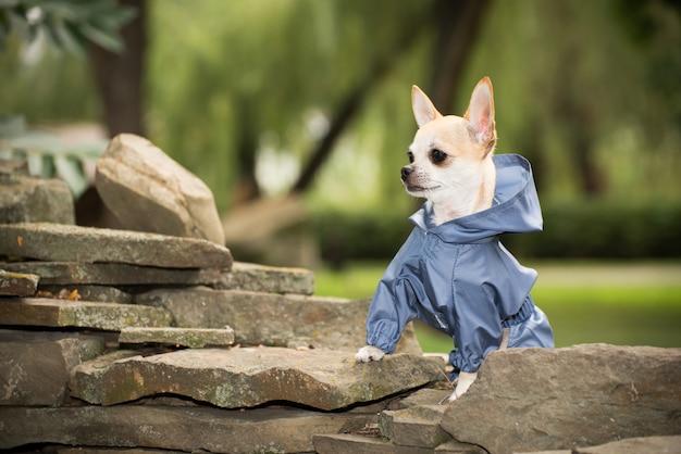 Hondje in kleding voor een wandeling