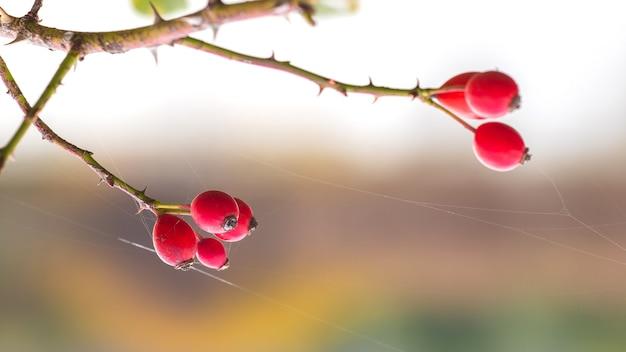 Hondsroos vruchten (rosa canina) in de natuur. rode rozenbottels op struiken met onscherpe achtergrond
