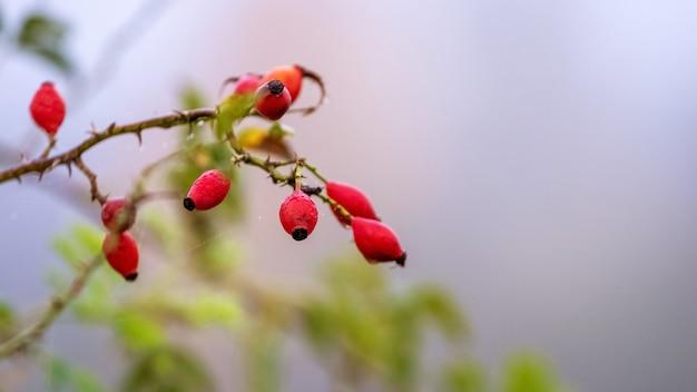 Hondsroos vruchten (rosa canina) in de natuur. rode rozenbottels op struiken