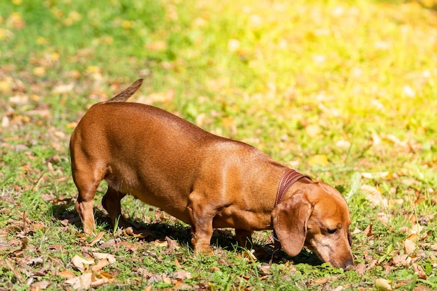 Hondtekkel op het gras