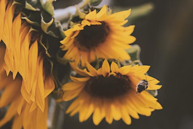 Honey bee over om op gele zonnebloem neer te strijken