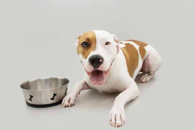 Hongerige amerikaanse staffordshire-hond die hond wacht op eten naast een botkom. geïsoleerd op grijze achtergrond