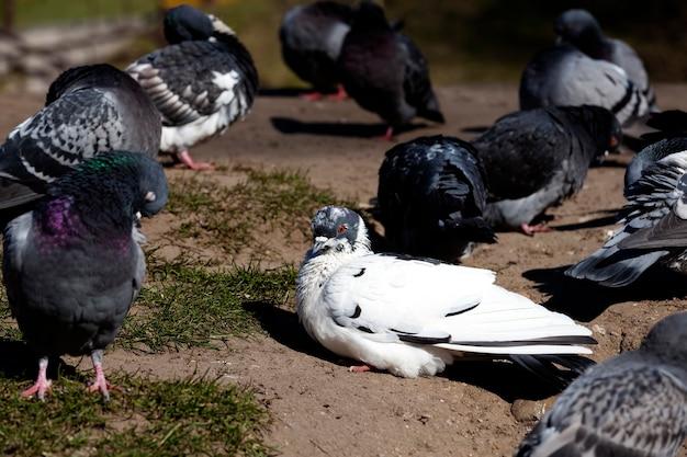Hongerige duiven die in de herfst in de stad leven