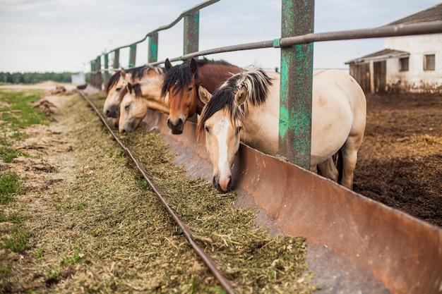 Hongerige paarden in de pen