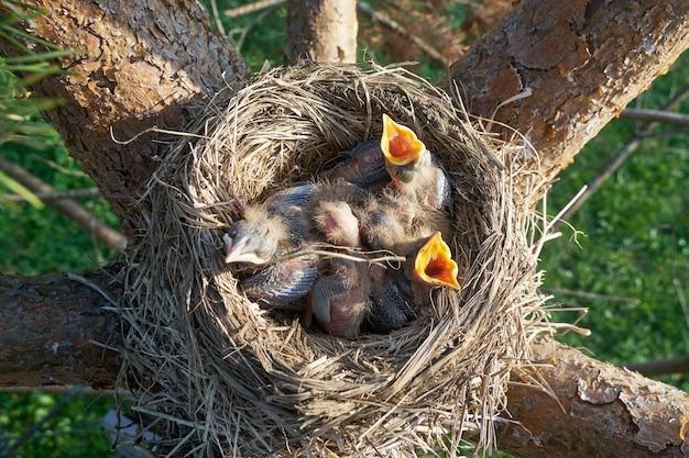 Hongerige pasgeboren lijsterskuikens openen monden en vragen om voedsel in het nest op de dennenboom