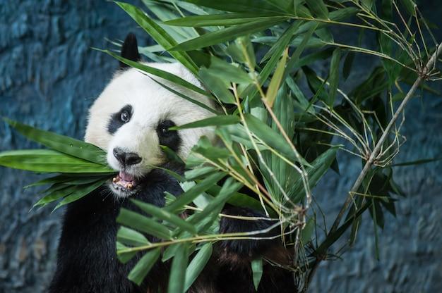 Hongerige reuzepanda die bamboe eet