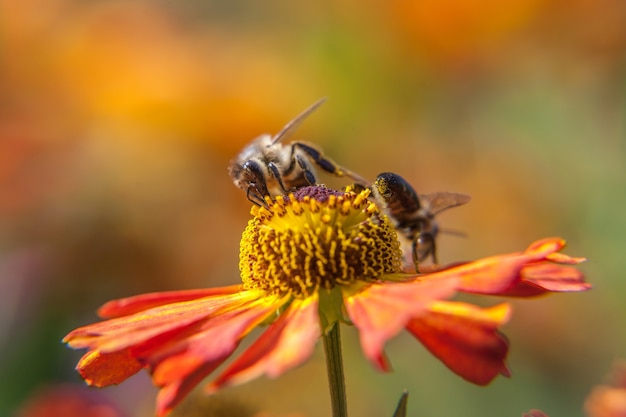 Honingbij bedekt met gele stuifmeel drink nectar, bestuivende oranje bloem