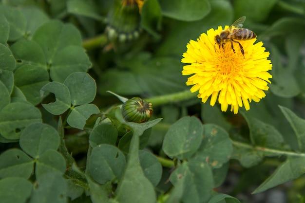 Honingbij die een gele bloem bestuiven