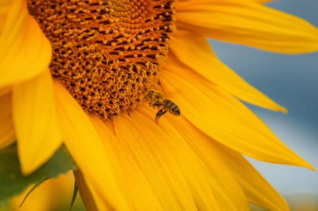 Honingbij die nectar van een zonnebloem verzamelt