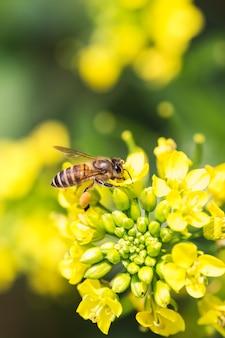 Honingbij die stuifmeel op canolabloem verzamelen