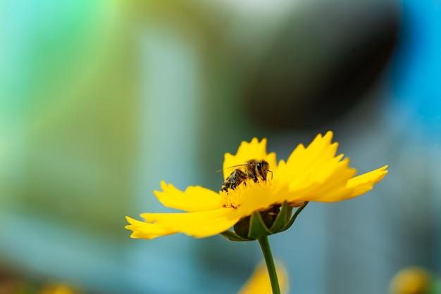 Honingbij die stuifmeel op een heldere gele bloem verzamelt