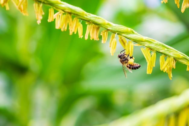 Honingbij die stuifmeel op korenbloem op landbouwgebied verzamelt