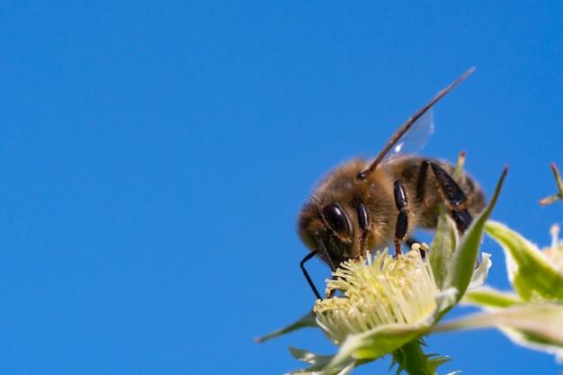 Honingbij die stuifmeel van bloemen verzamelt