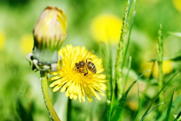 Honingbij en gele bloemen op groen gras