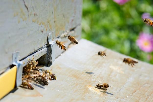 Honingbij in de ingang van een houten bijenkorf.