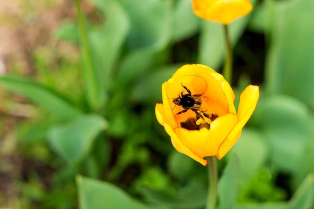 Honingbij met stuifmeelmand die over gele tulpenbloem vliegt.