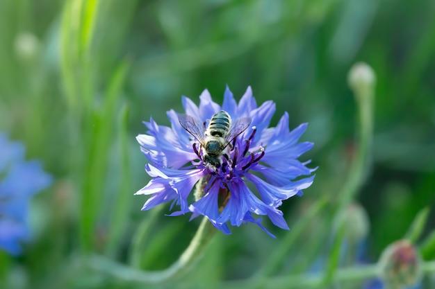 Honingbij zit op een blauwe korenbloem