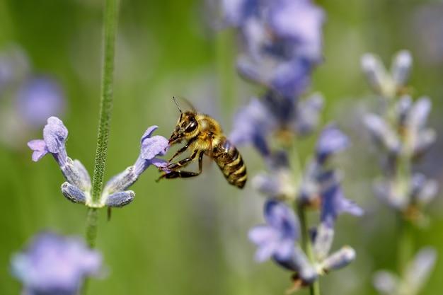 Honingbij zittend op de violette bloem van lavendel
