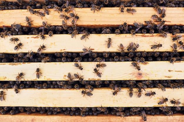 Honingbijen in de bijenteelt