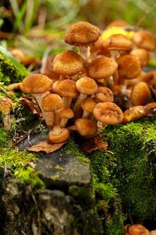 Honingpaddestoelen groeien in mos in bos, close-up