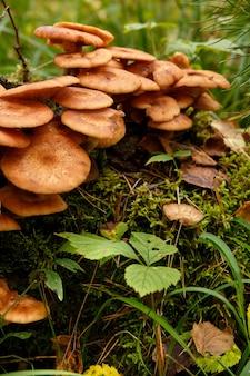 Honingpaddestoelen groeien van dichtbij in mos in bos