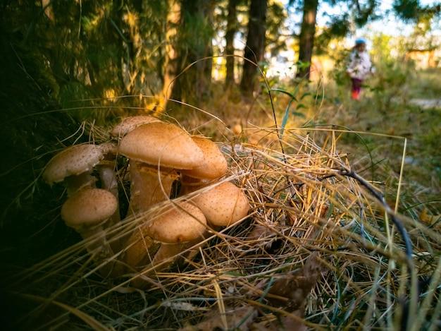 Honingpaddestoelen in de herfstbos close-up mooie eetbare paddestoelen ik in zonlicht