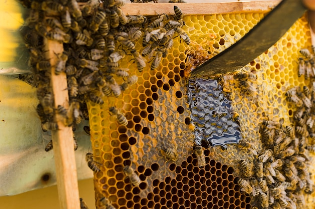 Honingraat met bijen