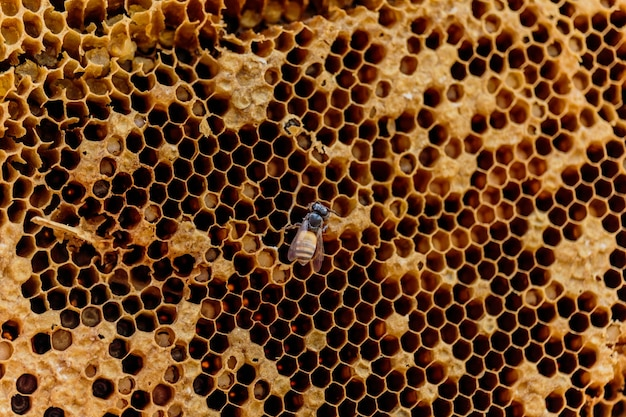 Honingraat zoom of apis florea