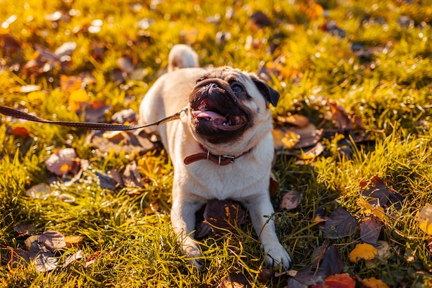 Hoofd lopende pug hond in de herfstpark