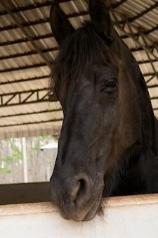 Hoofd portret van zwarte paard in stal