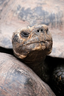 Hoofd van de gigantische galapagos-schildpad