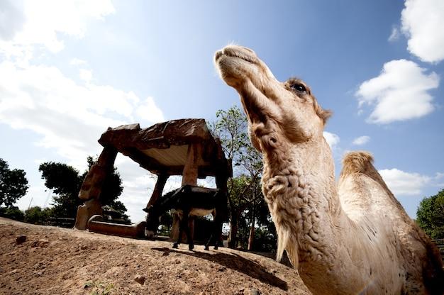 Hoofd van de kameel met zonneschijn
