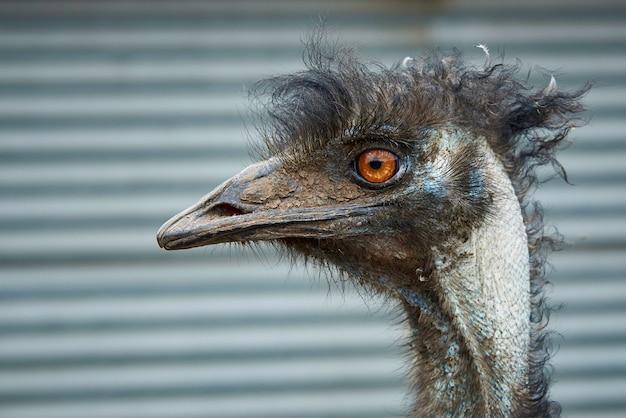 Hoofd van een grappige emuclose-up van de struisvogel.