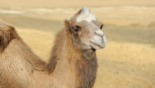 Hoofd van een kameel op een woestijn