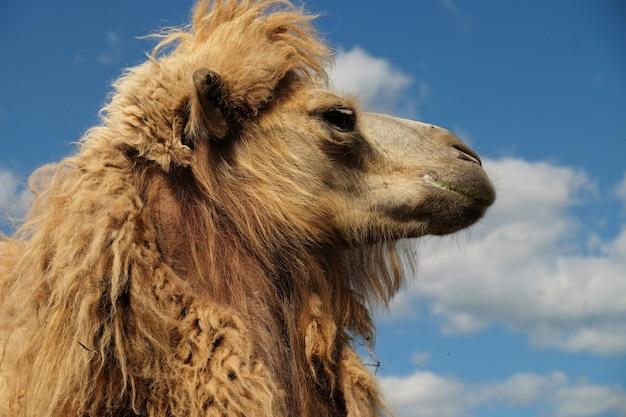 Hoofd van een kameel tegen de hemel