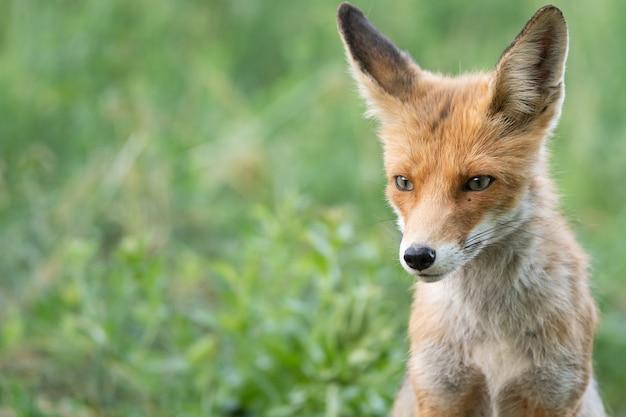 Hoofd van een rode vos vulpes vulpes op een groene achtergrond.