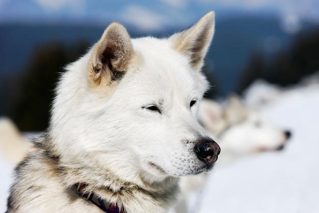 Hoofd van husky hond met blauwe ogen