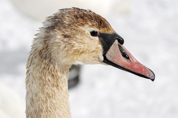 Hoofd van jonge witte zwaan close-up tegen sneeuw op de oever van de rivier in zonnige winterdag. zijaanzicht