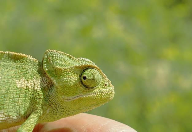 Hoofd van kameleonclose-up op een groene achtergrond